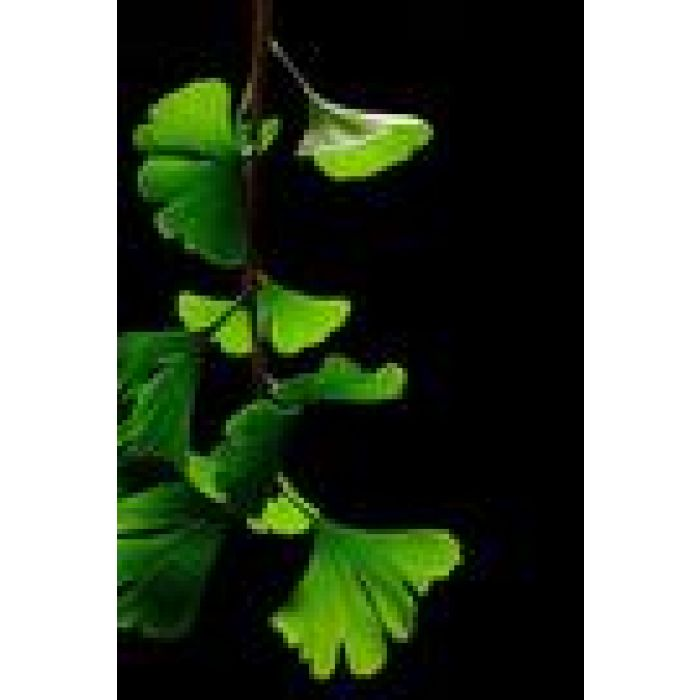 Gingko Biloba Leaf - Country Park Herbs for Horses and Livestock